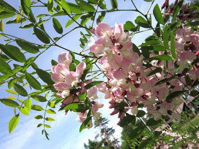 6-19 pink niseakasiya.jpg